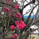 池上梅園の紅梅(2019年2月19日撮影)